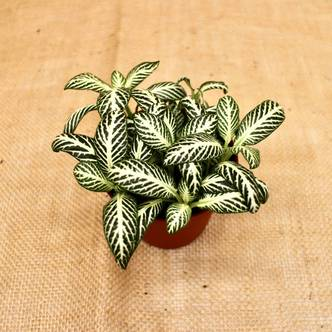 Fittonia Nerve Plant, Dark Green and White Variegated - 8cm pot