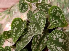 A close up of some Satin Pothos Scindapsus pictus 'Argyraeus' leaves