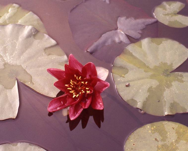 A red water lily in a garden pond