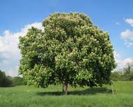 A photo of Horse Chestnut