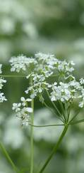 A photo of Cow Parsley
