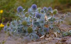 A photo of Sea Holly