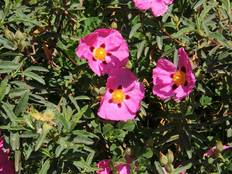 Some pink Cistus x purpureus flowers on a green leafy plant