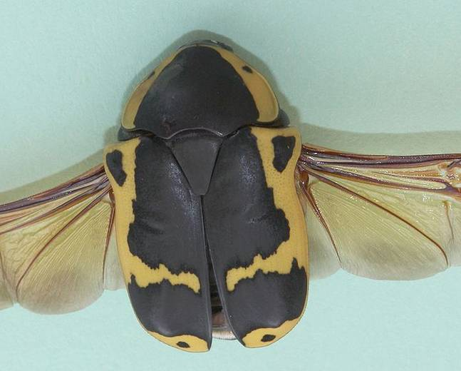 A close up of scarab beetle Pachnoda sinuata african fruit chafer with wings extended on a white surface