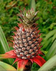 A photo of Pineapple Plant