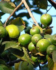 A photo of Common Guava