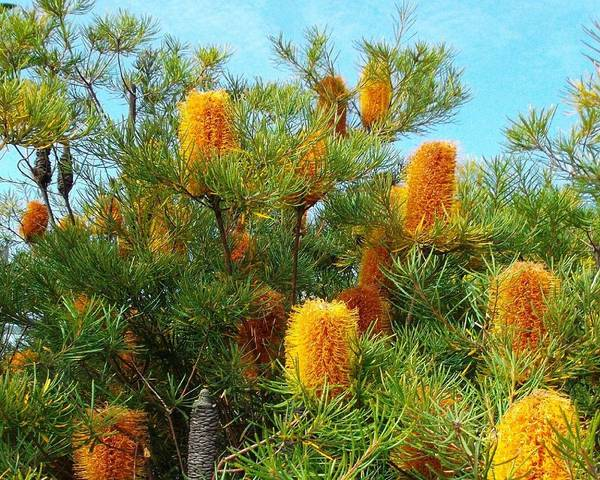 A picture of a Banksia