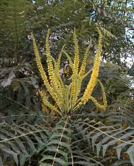 A photo of Mahonia