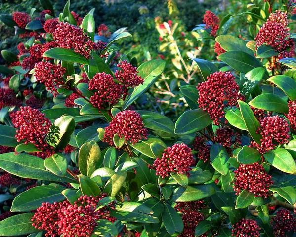 A picture of a Skimmia