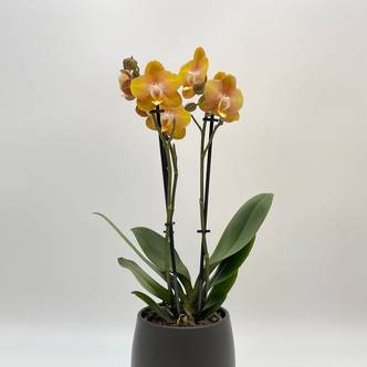 Phalaenopsis, Las vegas Orchid, Moth orchids, Special Kolibri, Gold Orchid