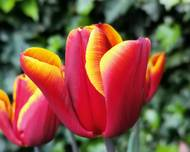 A photo of Tulip 'Abu Hassan'