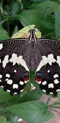 A photo of Citrus Swallowtail