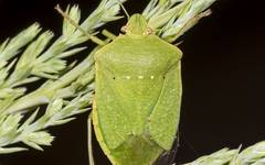 A photo of Green Stink Bug