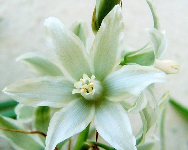 A picture of a Drooping Star Of Bethlehem