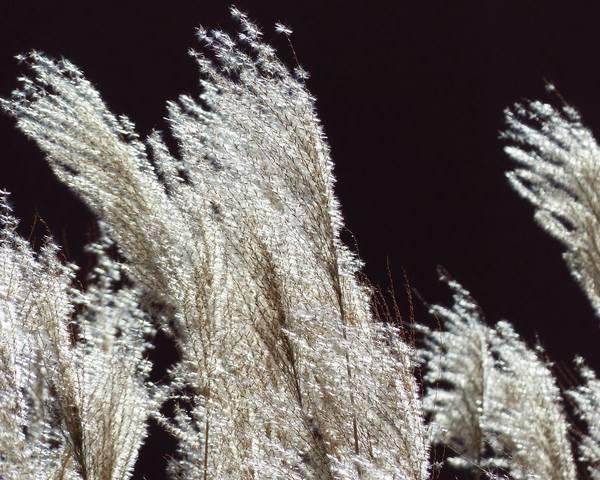 A picture of a Chinese Silvergrass