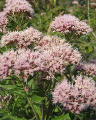A photo of Hemp Agrimony