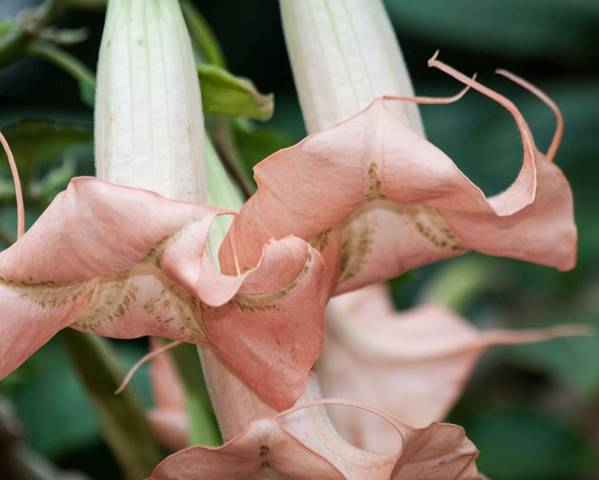 A picture of a Angel's trumpet