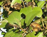 Lagunaria patersonia-fruit foliage-CROPPED