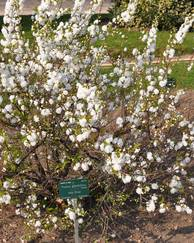 A photo of Flowering almond