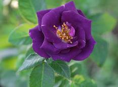 A close up of a Rosa 'Rhapsody in Blue' purple flower