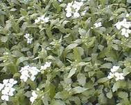 A photo of Mountain Rock Cress