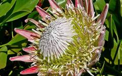 A photo of Protea
