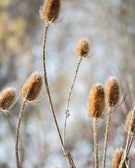 A photo of Fuller's Teasel