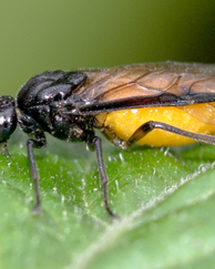 A photo of Large Rose Sawfly
