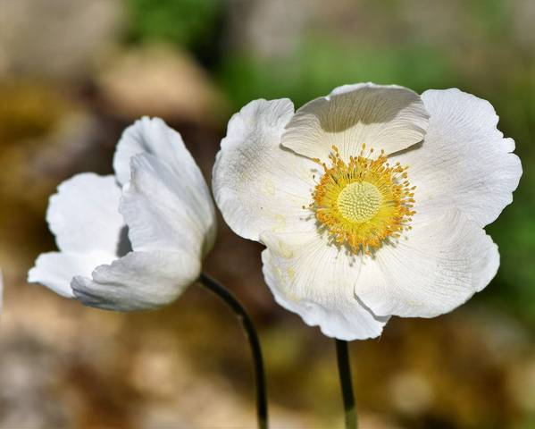 A picture of a Windflower