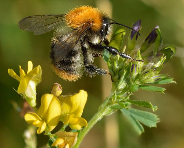 A picture of a Bombus pascuorum Common Carder Bee on a flower