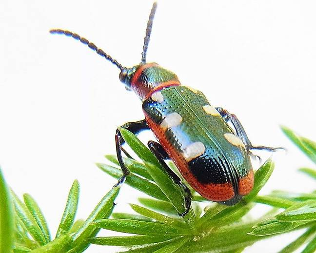 A small Crioceris asparagi common asparagus beetle insect on some foliage aganist a white surface