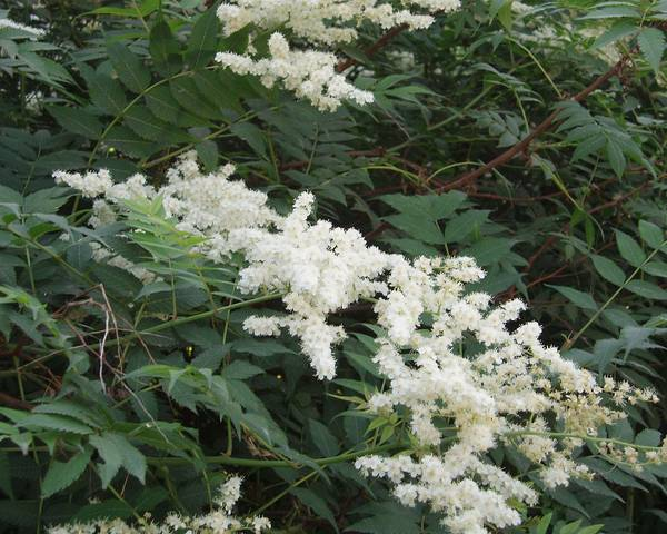 A picture of a False Spiraea