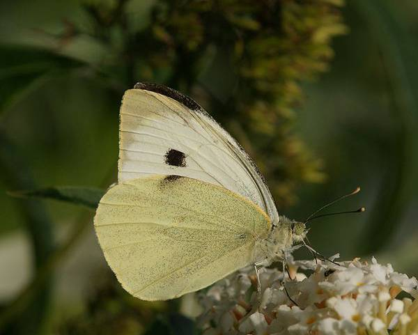 A close up image of a large white butterfly cateroillar Pieris brassicae on a white flower