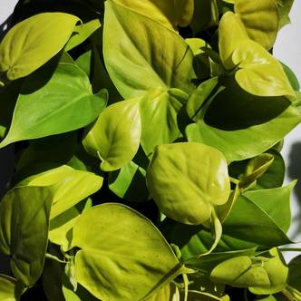 Philodendron Hederaceum 'Lemon and Lime'