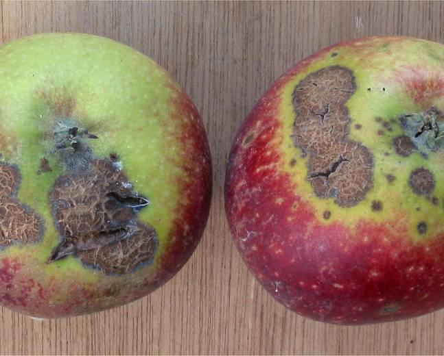 A close up of some apple fruits infected with Apple Scab Venturia inaequalis