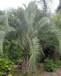 A photo of Queen Palm