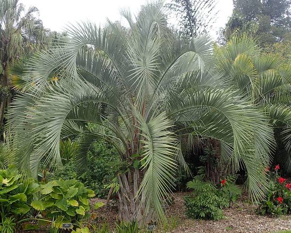 A picture of a Queen Palm
