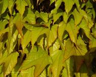 A photo of Boston Ivy