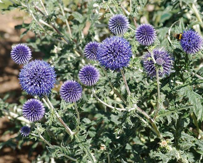 Some purple flowers on a Echinops ritro plant