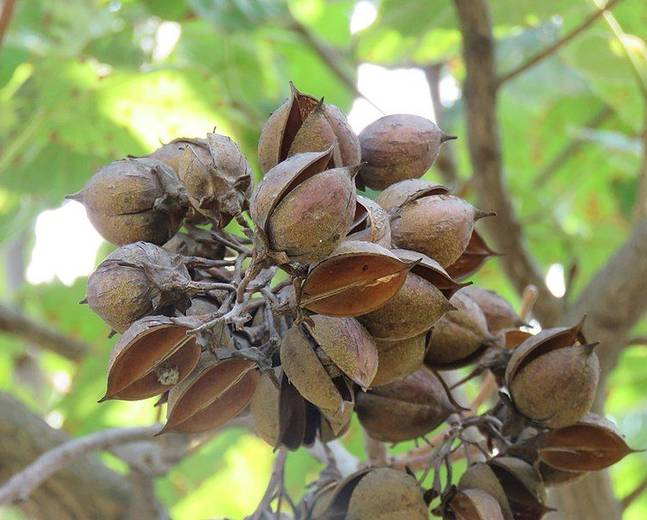 A close up of a some Paulownia tomentosa fruits