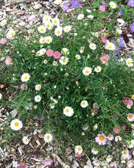 A photo of Mexican Fleabane