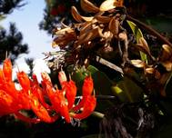 A photo of Natal Flame Bush