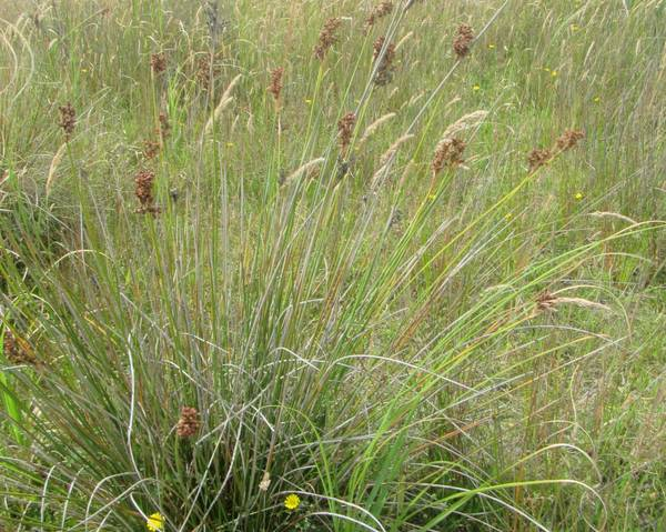 A picture of a Juncus acutus