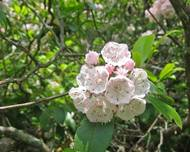 Kalmia latifolia Great Smoky