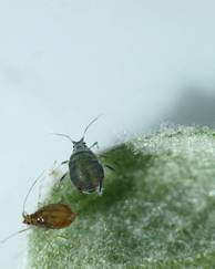 A photo of Rosy Apple Aphid