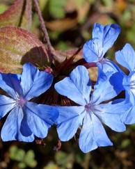 A photo of Chinese Plumbago