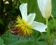 Sparrmannia africana, by op blom, Jan Celliers Park