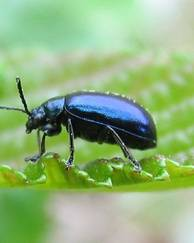 A photo of Alder Leaf Beetle