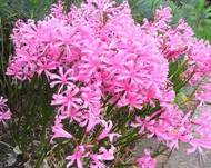 A photo of Nerine 'Pink Triumph'