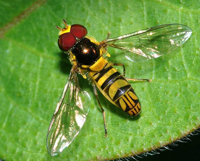 An hoverfly insect on a green leaf
